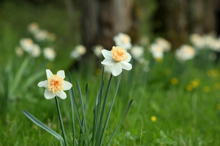 Details of double flowering narcissus in nature  photo
