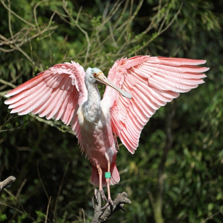 Details of a roseate spoonbill perching in captivity.