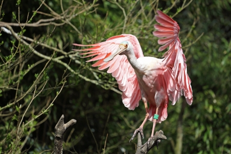roseate: Details of a roseate spoonbill perching in captivity.