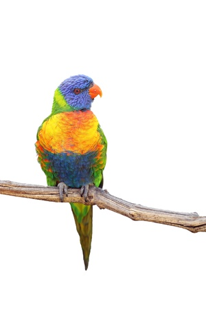 Details of rainbow lorikeet, trichoglossus haematodus, perching on a branch, isolated on white.
