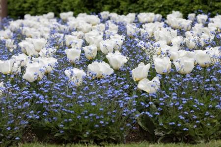 massif de fleurs: D�tails d'un parterre fait de tulipes blanches et bleu myosotis Banque d'images