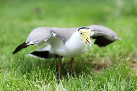lapwing: Details of a masked lapwing in grassland in captivity