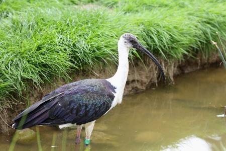 necked: Details van een rietje hals ibis in gevangenschap