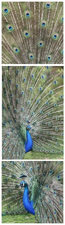 indian peafowl: Details of an indian peafowl displaying in captivity  Stock Photo