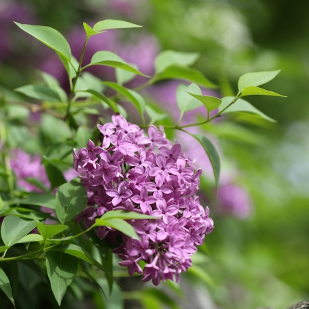 Details of flowers and leaves of common lilac, Syringa vulgaris  Stock Photo