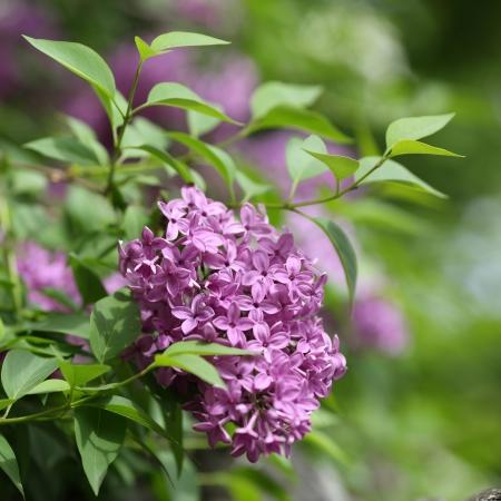Los detalles de flores y hojas de color lila com�n, Syringa vulgaris Foto de archivo