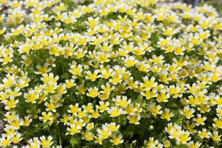 Detalles de Limnanthes douglasii en flor.