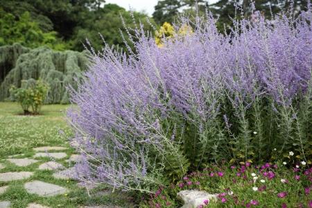Details of beautiful russian sage in garden.