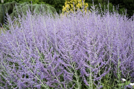 Details of beautiful russian sage in garden.