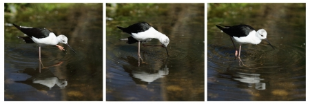 Details of a wading bird in a pond, the common stilt.