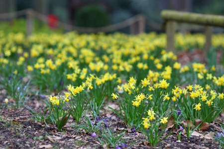 The details of a flowerbed in spring, the daffodils  Stock Photo