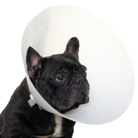 elizabethan: Details of a mature french bulldog with elizabethan collar isolated on white background. Stock Photo