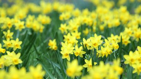Detalles de un grupo de flores de primavera, el junquillo o narciso prisa.