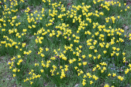 jonquil: Details of a group of spring flowers, the jonquil or rush daffodil.
