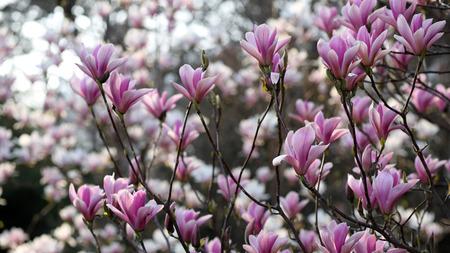 magnolia soulangeana: Details of a beautiful blossoming tree in spring, the magnolia soulangeana.