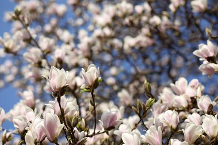 Detalles de un hermoso �rbol en flor en primavera, la magnolia soulangeana Foto de archivo
