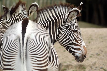equid: Details of a beautiful zebra in captivity  Stock Photo