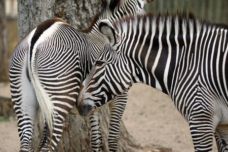 equid: Details of a beautiful zebra in captivity.