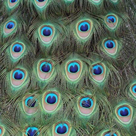 blue peafowl: Details of feathers of an Indian peafowl during courtship. Stock Photo