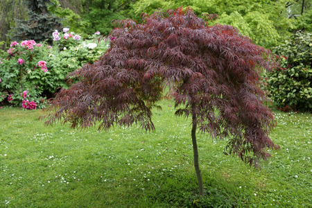 acer palmatum: Details of Acer palmatum year in a beautiful garden.