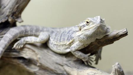 vivarium: Details of a bearded dragon in captivity in a vivarium.