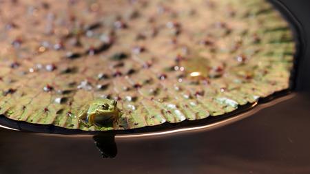 nenuphar: Details of a frog on a big leaf of nenuphar.