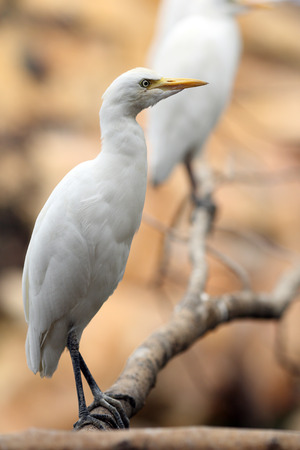 Details of a cattle egret perched in captivity.