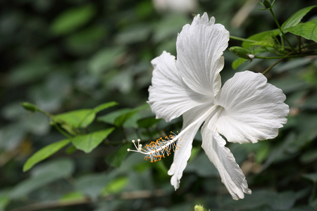 Details of a white hibiscus on a branch.