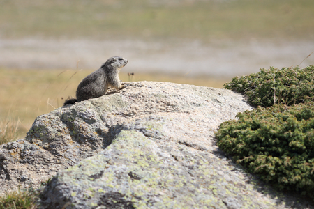 Details of a beautiful alpine marmot in nature. Stock Photo
