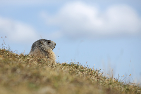 Details of a beautiful Alpine marmot in nature.
