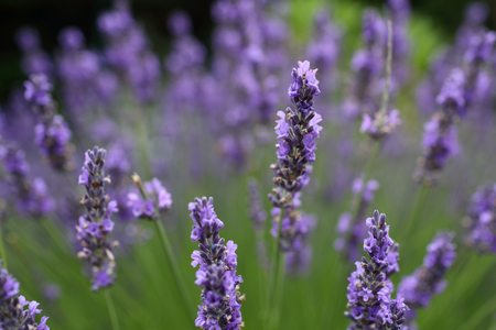 Details of colorful lavander in a field. Stock Photo