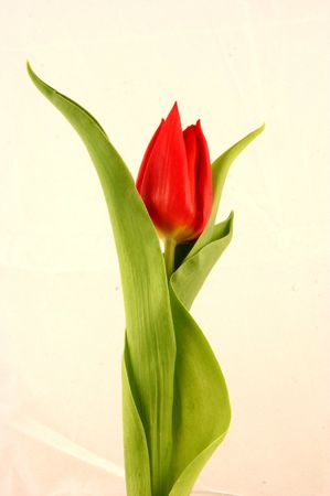 beautiful red tulips close up: Red Tulip 1