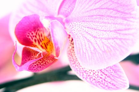 high key orchid 2 Stock Photo - 832701