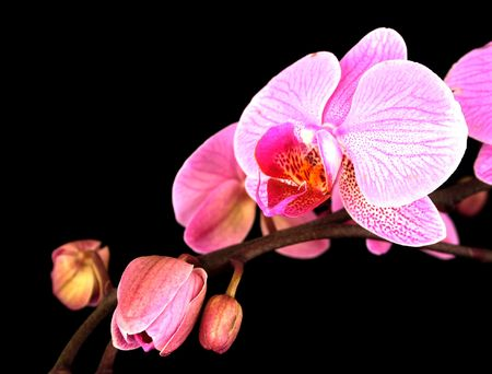 orchids on black 2 Stock Photo - 832696