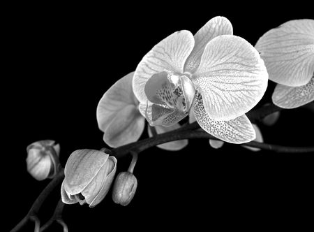 black and white Orchid stem photo