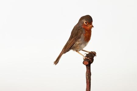 Taxidermy robin Stock Photo - 19904186