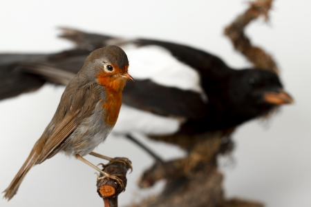Taxidermy robin and magpie in the background Stock Photo - 19904276