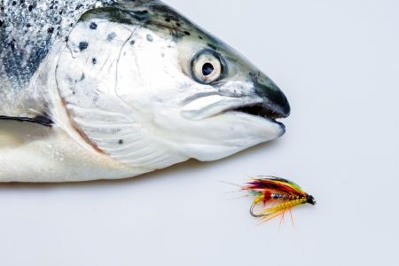 Salmon and fly Stock Photo - 20165021