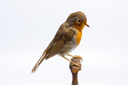 Taxidermy robin Stock Photo - 20165000