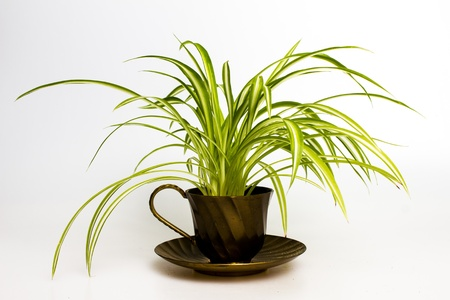 flower pot: Spider plant in a retro teacup