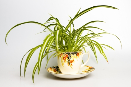 Spider plant in a retro teacup  photo