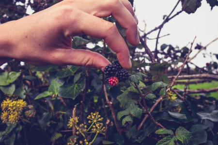 Young woman picking blackberries photo