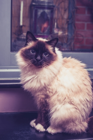 Birman Cat sitting by door in apartment photo