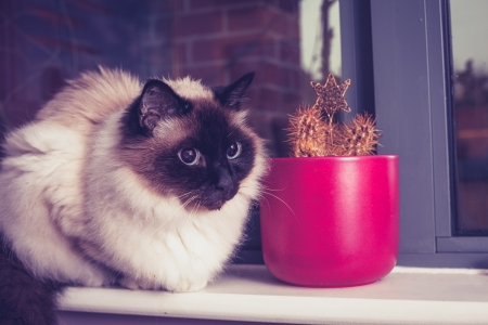 Birman Cat sitting in window by cactus photo