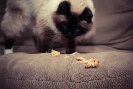 Cat puking hairball on sofa Stock Photo