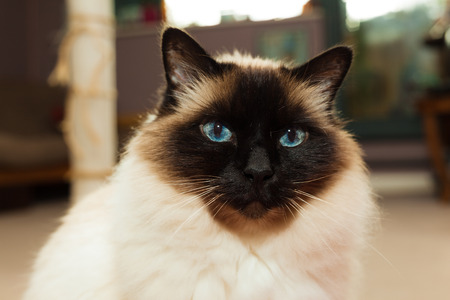 himalayan cat: Pretty Birman cat at home