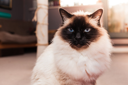 Bastante gato Birman en casa photo