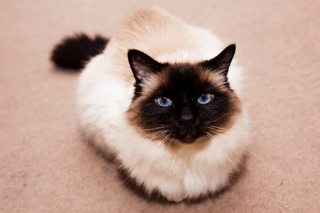 himalayan cat: Pretty Birman cat at home on the carpet Stock Photo