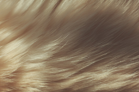 Extreme close up on the fur of a Birman cat