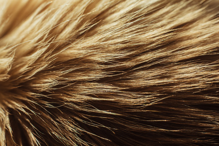 Extreme close up on the fur of a Birman cat photo